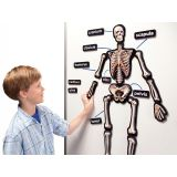 3-D Skeletal System Whiteboard Magnets