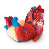 Cross-Section Human Heart Model