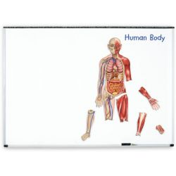Double-Sided Magnetic Human Body