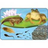 Frog Giant Lifecycle Puzzle