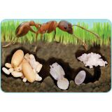 Ant Giant Lifecycle Puzzle