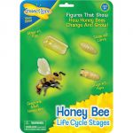 Life Cycle Stages, Bee