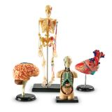 Anatomy Models, Set of all 4 models