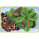 Butterfly Giant Lifecycle Puzzle