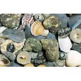 Sea Shells - Assorted in Basket
