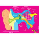 Human Body Foam Manipulatives, Human Ear Model