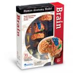 Anatomy Models, Brain
