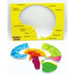 Human Body Foam Manipulatives, Human Brain Model